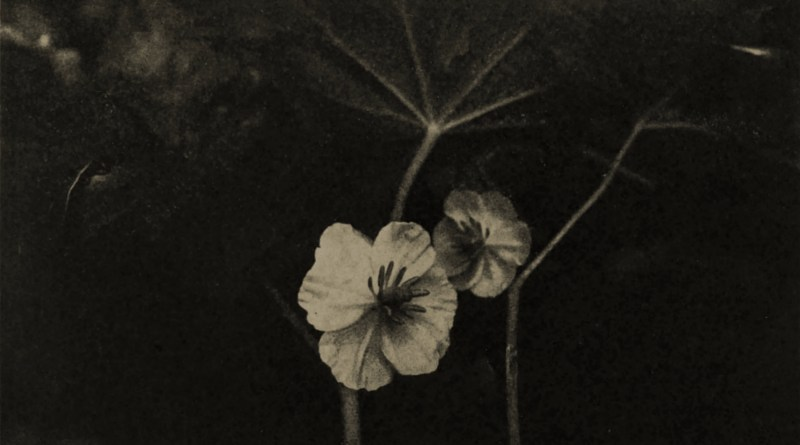 Mandrake blossoms by W. E. Bertling about 1908