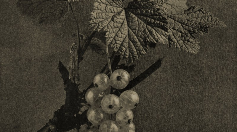 White currants by Robert Burnie about 1908