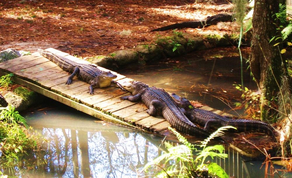 Okefenokee Swamp Energizes Imagination (1/2)