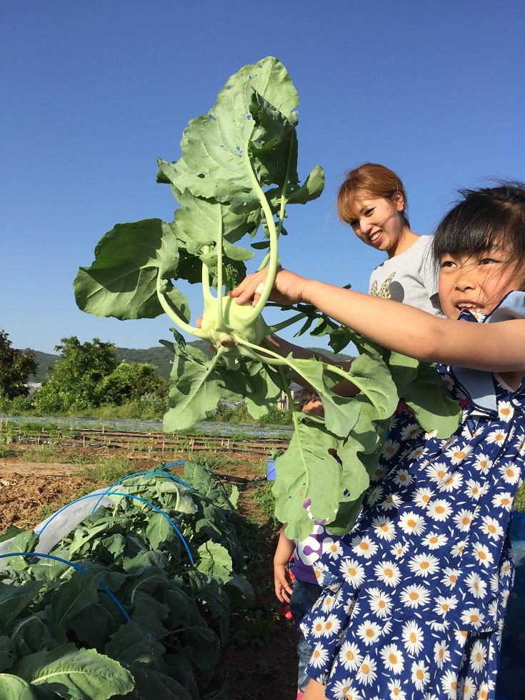 コールラビの収穫