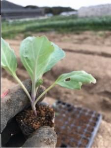 キャベツ苗を植えました