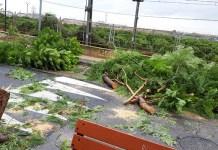 Uno de los árboles que se ha tenido que cortar