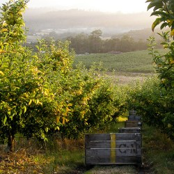 tasmanian-apple-orchard