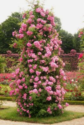 Pillar roses add vertical interest to any garden.