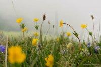 Цветы альпийских лугов