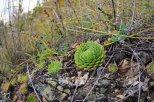 Каменная роза растет на скалах Бештау