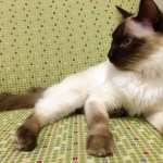 Balinese Cat Breed Profile
