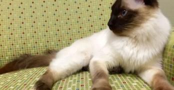 Balinese Cat Breed Profile