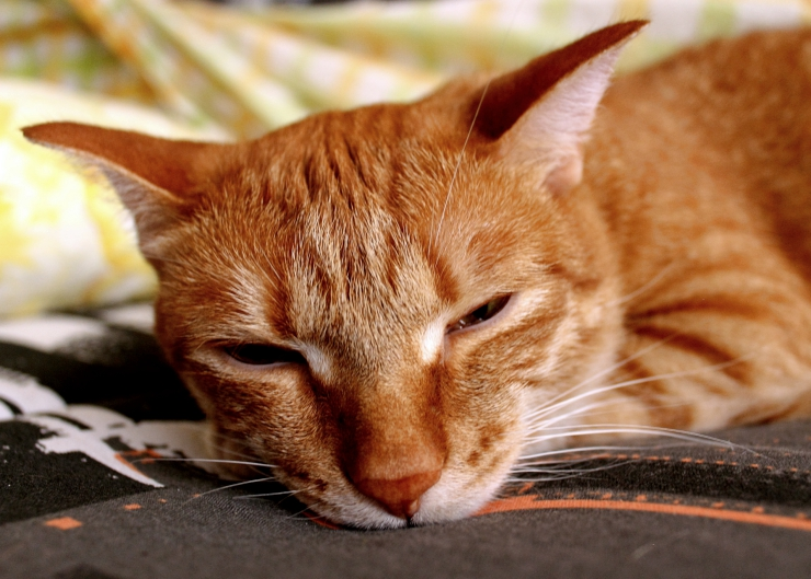 signs of fleas on cats