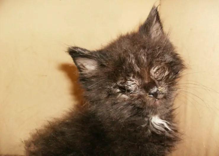 ... feline herpes virus | Herpes Virus in Cats - Symptoms and Treatment