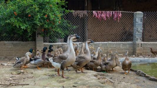 Les canes et canards de la ferme pilote - Formation volailles avec Entrepreneurs du Monde - http://paysansdavenir.com/entrepreneurs-du-monde-region-de-dien-bien-commune-de-na-thau-groupement-de-productrices-de-canard/