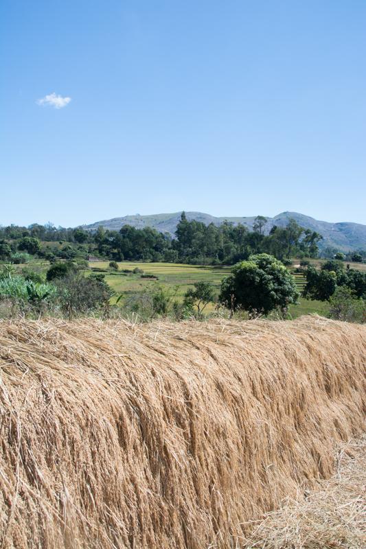 La récolte de riz: étape 4: Séchage et stockage du riz