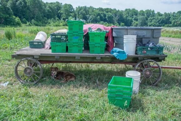 Little Seed Gardens, maraîchage et vente de paniers de légumes : Anna B. la belle berger australienne de l'exploitation
