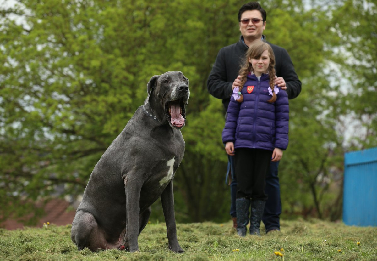 Fullsize Of Heaviest Dog Breed