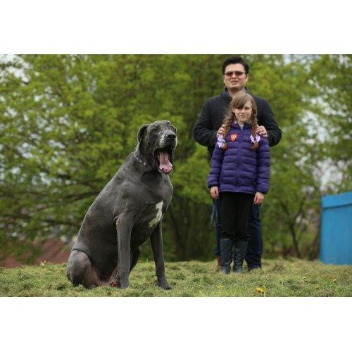 Medium Crop Of Heaviest Dog Breed
