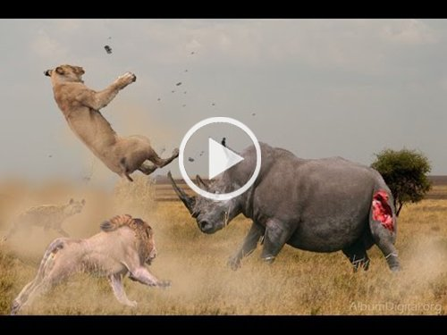 Hippopotamus Vs Lions…….Do not Watch This Video If you Don't Have a Heart (Graphic Content)