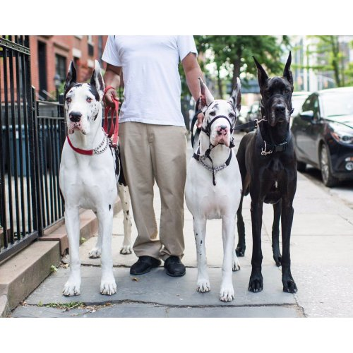Medium Crop Of How Long Do Great Danes Live