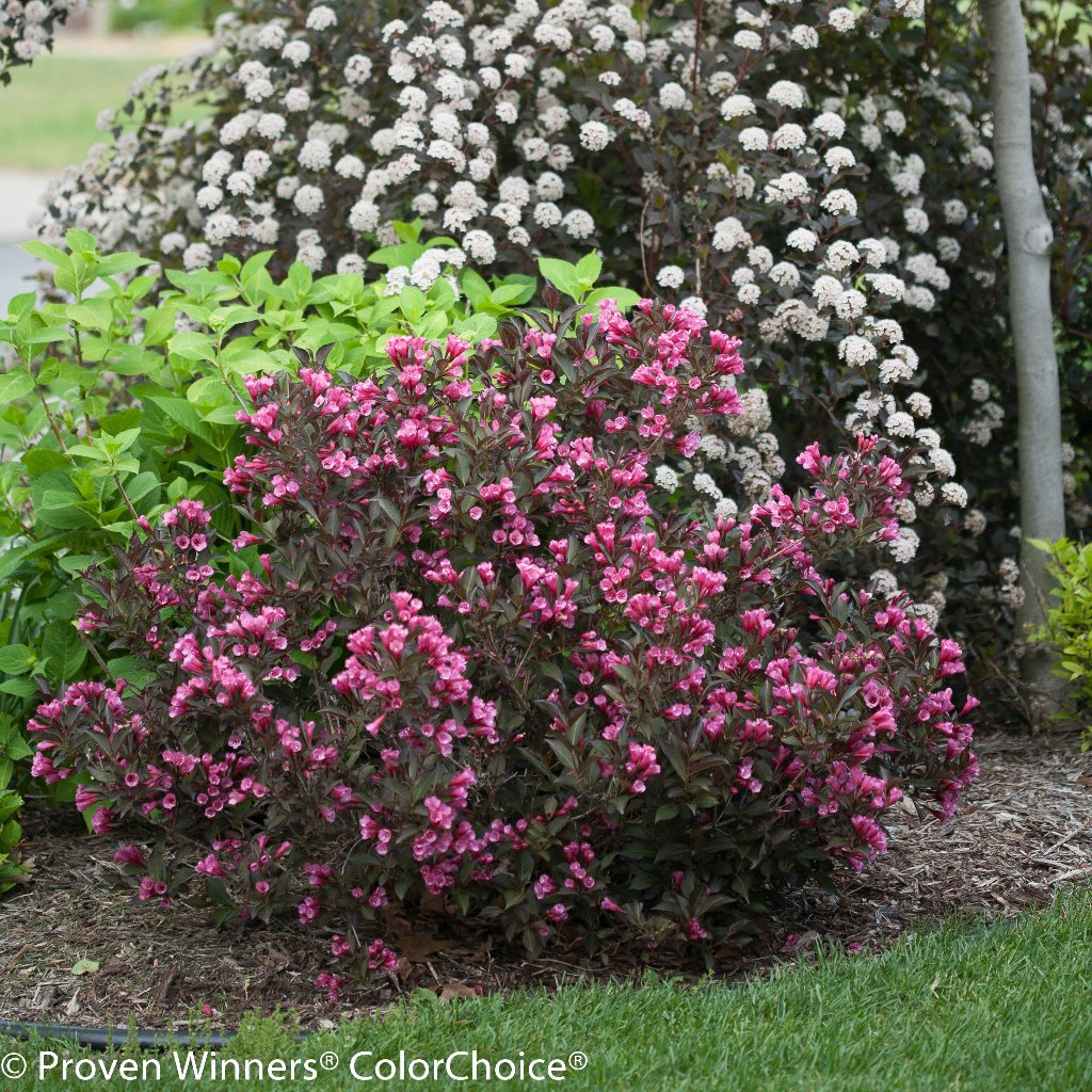 Fulgurant Reply Retweets Likes Weigela Hashtag On Twitter Midnight Wine Weigela Reviews Weigela Midnight Wine Rhs houzz-03 Weigela Midnight Wine