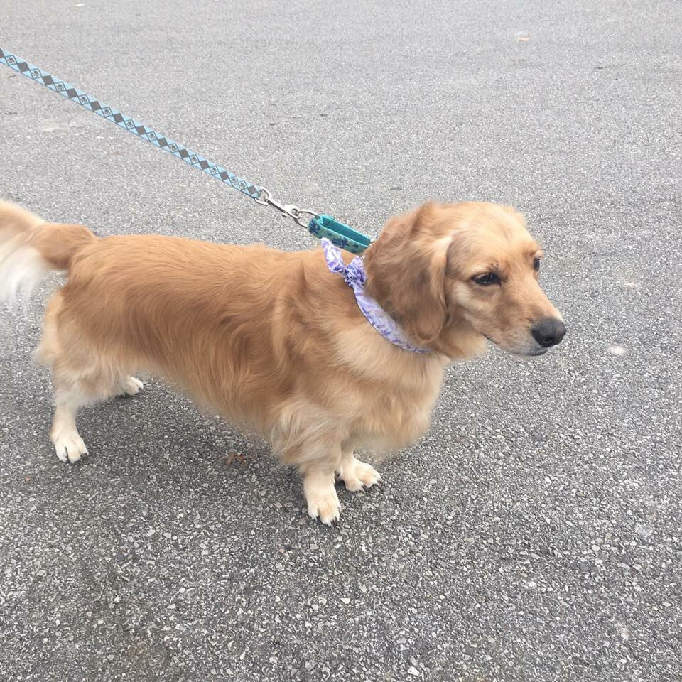 Upscale Pm Nov 2017 Erin Ruberry On Is Part Gen Part Gen Retriever Corgi Mix Sale Gen Retriever Corgi Mix Puppies bark post Golden Retriever Corgi