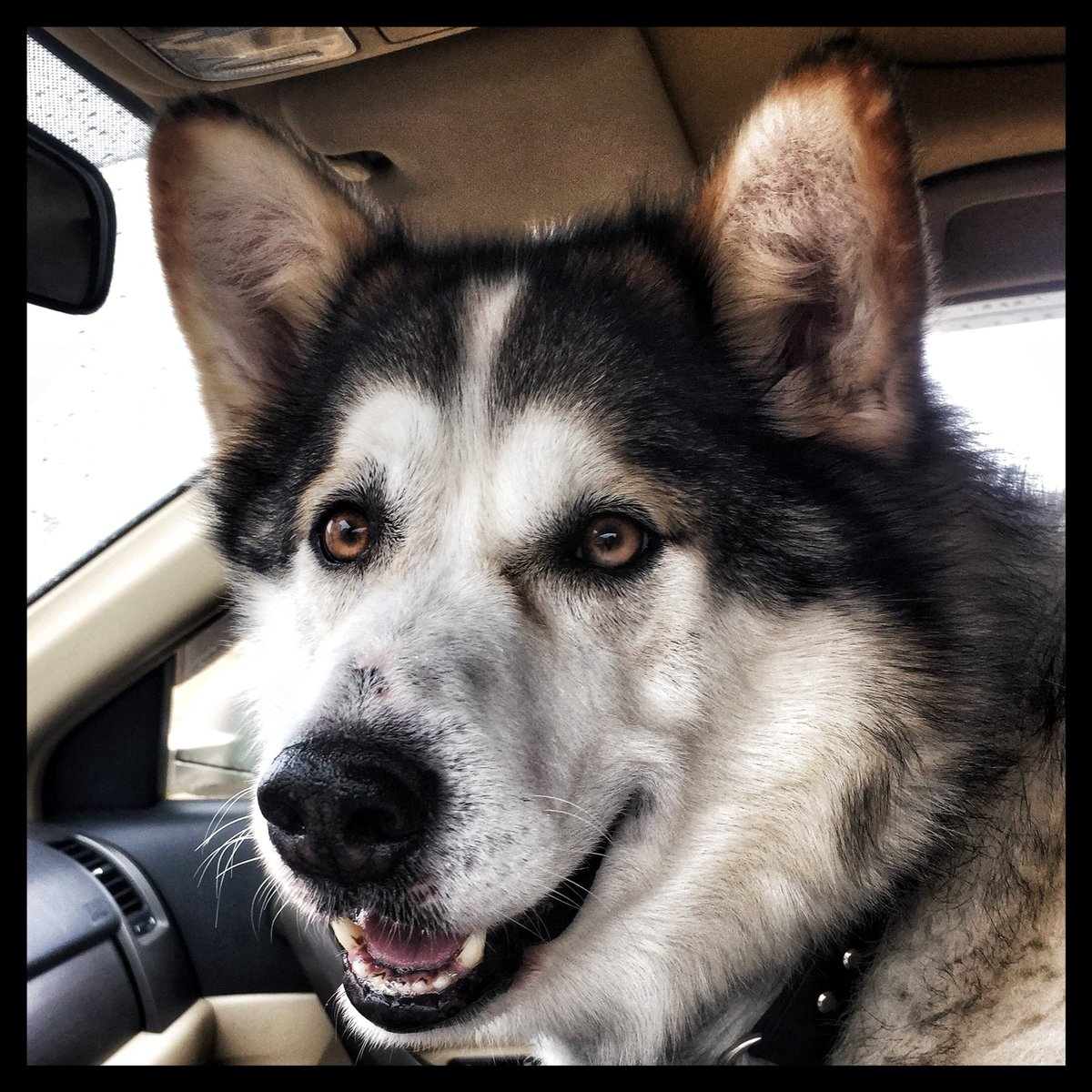 Fullsize Of Malamute Husky Mix