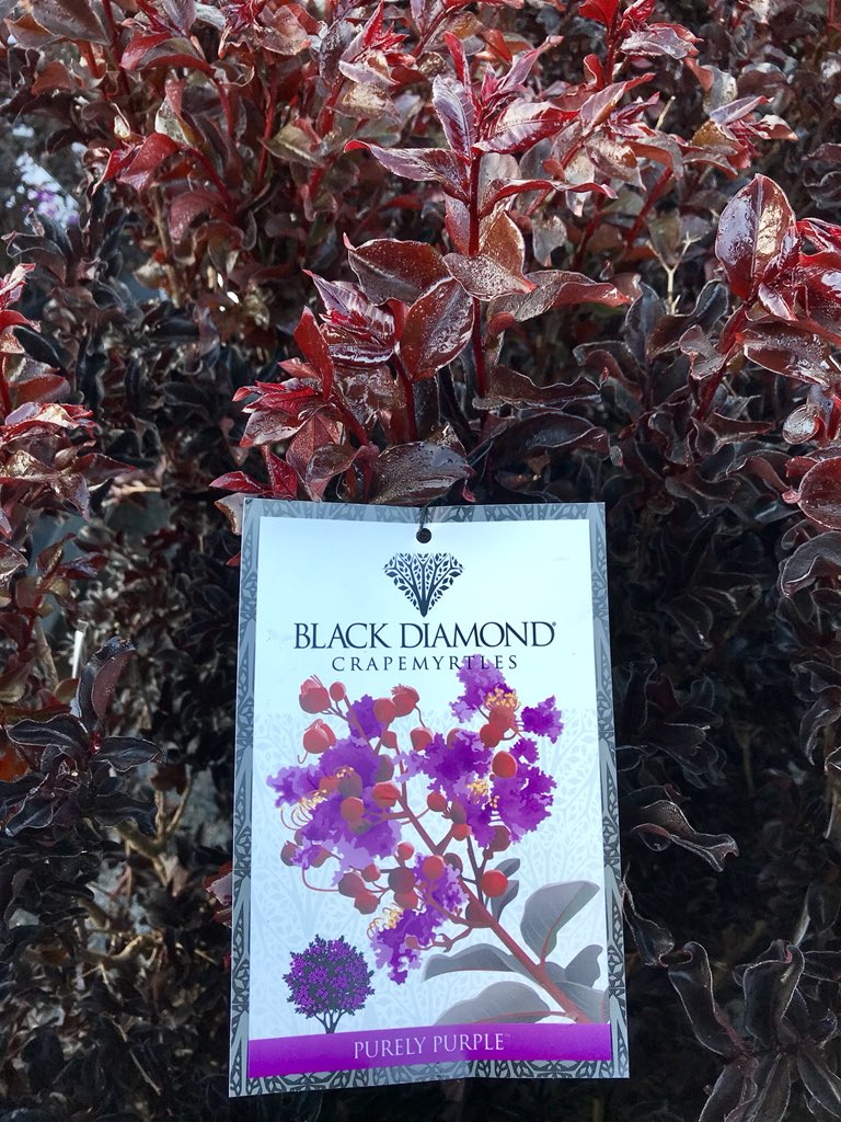 Imposing Black Diamond Crape Myrtles Lukas Nursery On Various Flowercolors Lukas Nursery On Black Diamond Crape Se Crape Myrtles Offer A Rich Merlot Burgundy Leaf houzz-02 Black Diamond Crape Myrtle