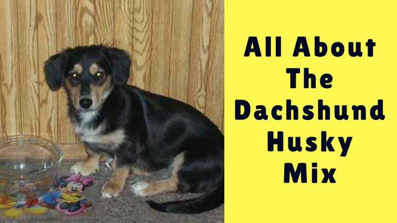 Large Of Dachshund Husky Mix