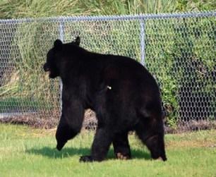 Black-Bear-rescue-01