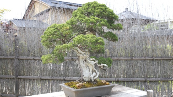 Peach_no_japao_bonsai_wabisabi