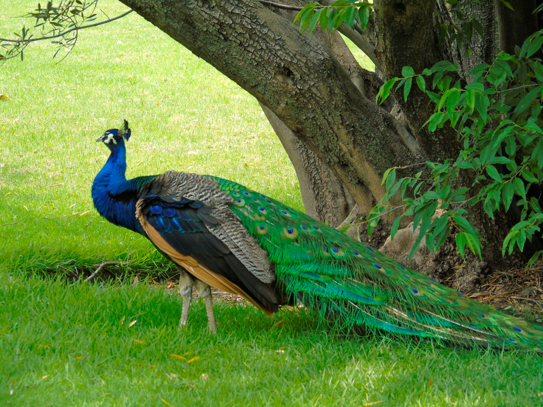 Peacock one by Lorette C. Luzajic