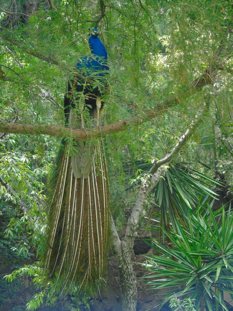 Peacock Three by Lorette C. Luzajic