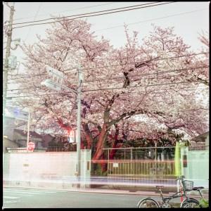 星薬科大学裏門付近の桜