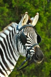 zebracharlie
