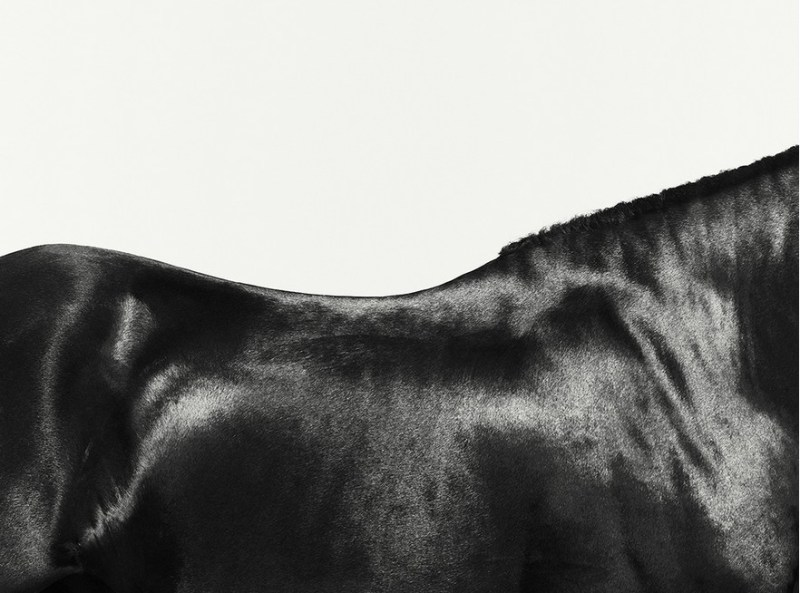 www.pegasebuzz.com | Equestrian photography : Alistair Taylor - Young Friesian horse study