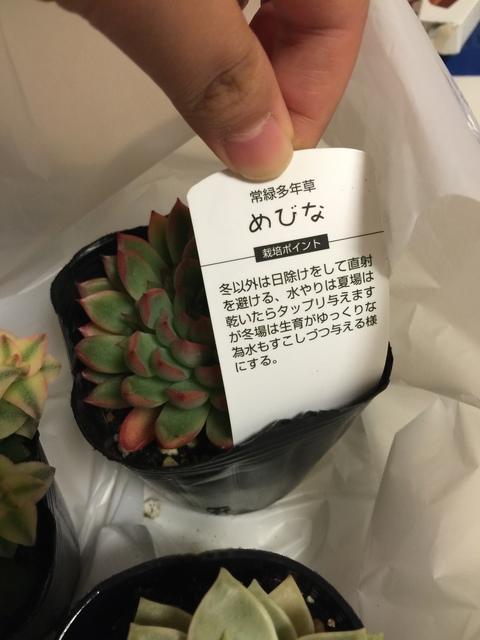 多肉植物 女雛(めびな)