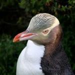 キンメペンギンの大人の写真