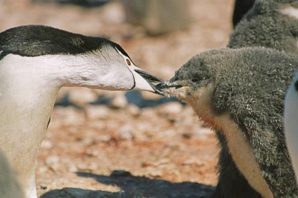 ヒゲペンギンのヒナの写真
