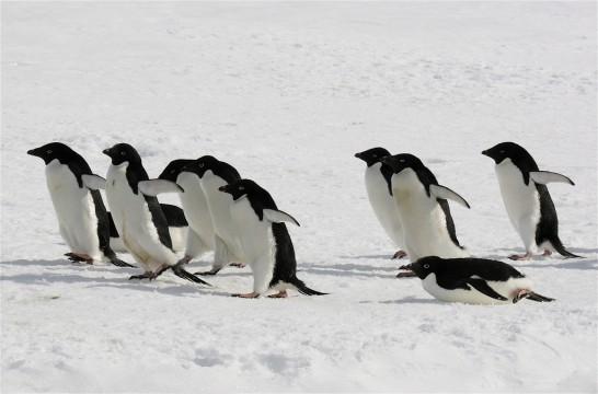 アデリーペンギンの大人の写真