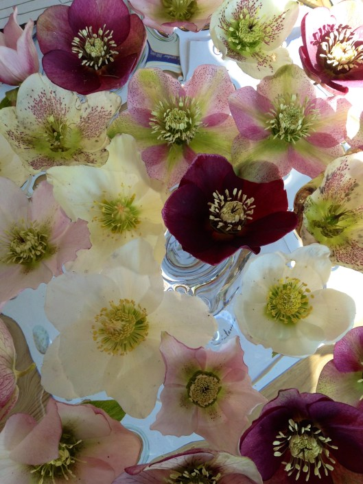 how to look after hellebores