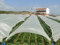 Strawberries near Donana