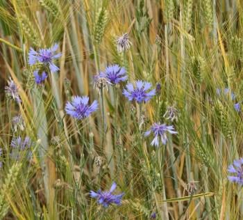 barley-field-95940_1280