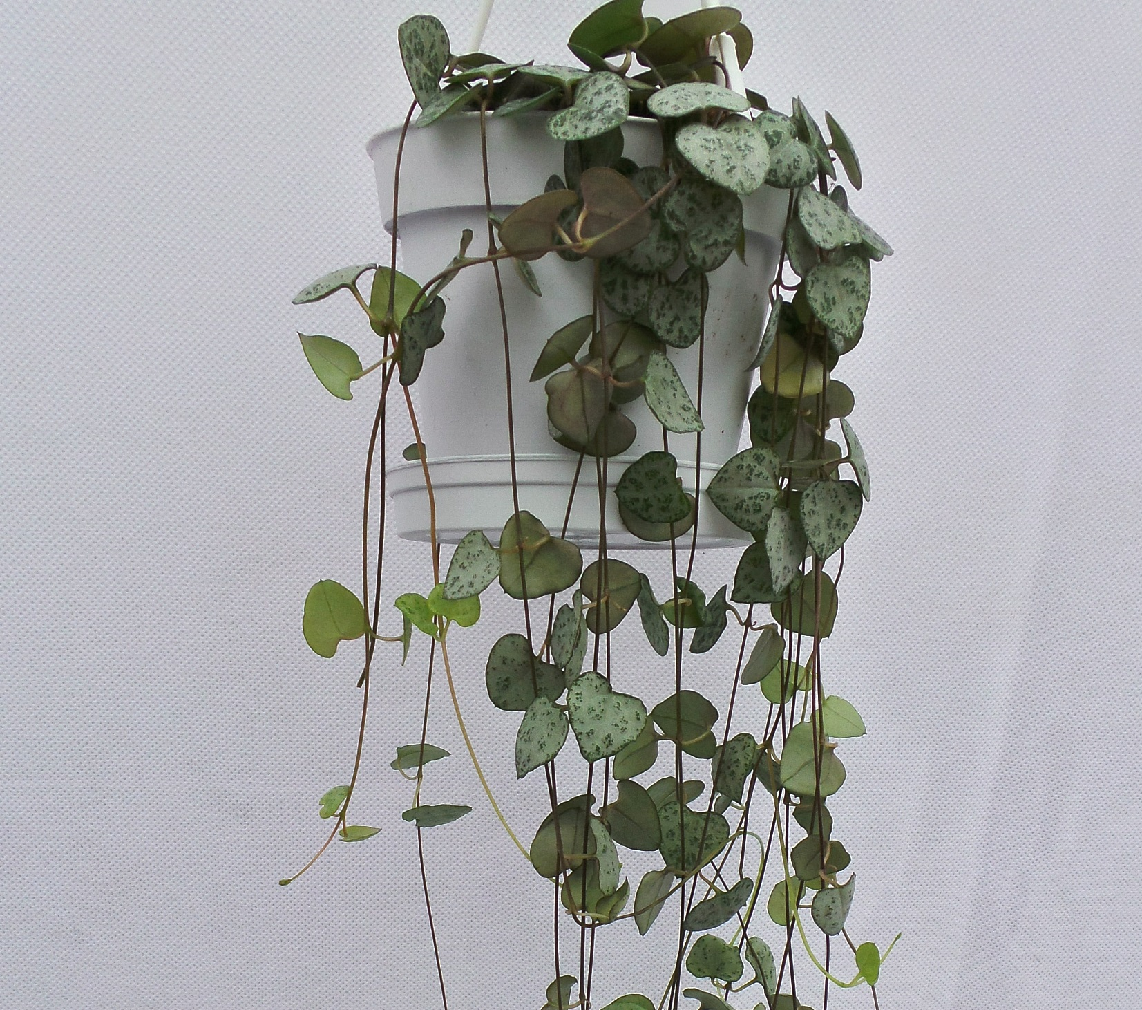 Modern Hearts Plant Buy String String Hearts Plant Flowers Ceropegia Hearts On A Heart Shaped Valentines Day Is Living Gifts That Will Grow houzz 01 String Of Hearts Plant