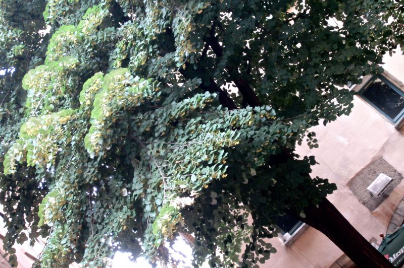 Large Of Linden Tree Smell