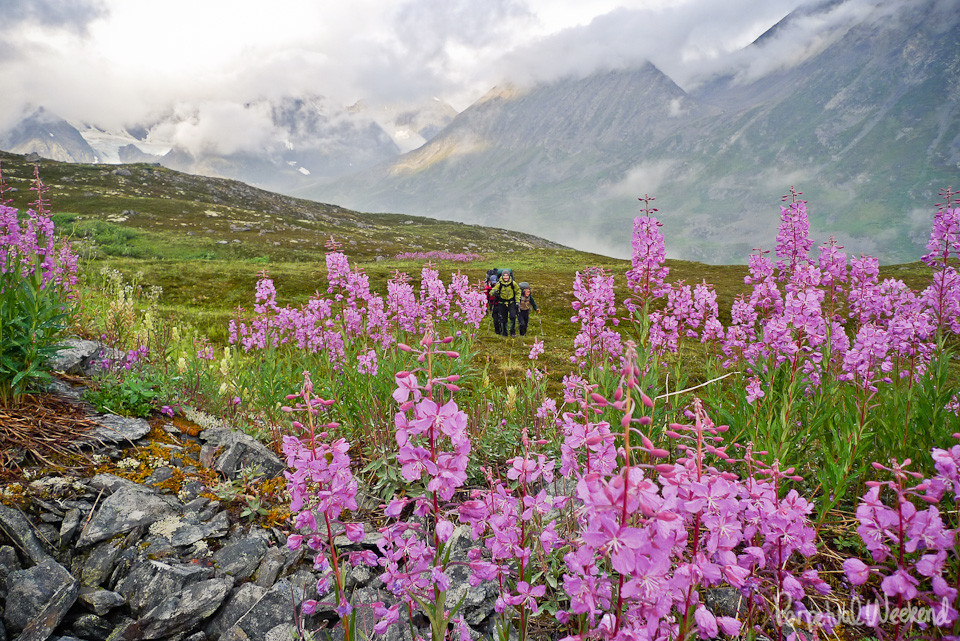 Fireweed backpacking in Alaska