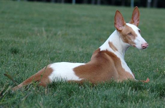 http://i1.wp.com/perros.anipedia.net/images/perros-podenco-ibicenco.jpg?w=750
