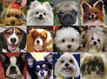Los Perros en Miniatura y su Mal Genio