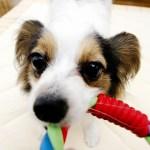 パピヨン|dog0012-018