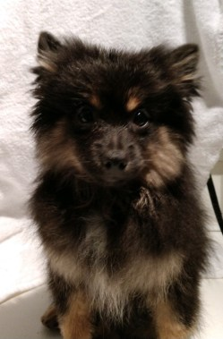 Small Of Pomeranian Rottweiler Mix