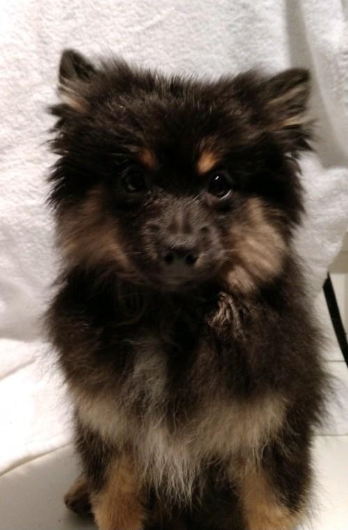 Terrific Pomeranian Rottweiler Mix Overland Ks Meet Dewey A Dog Sale Pomeranian Rottweiler Mix