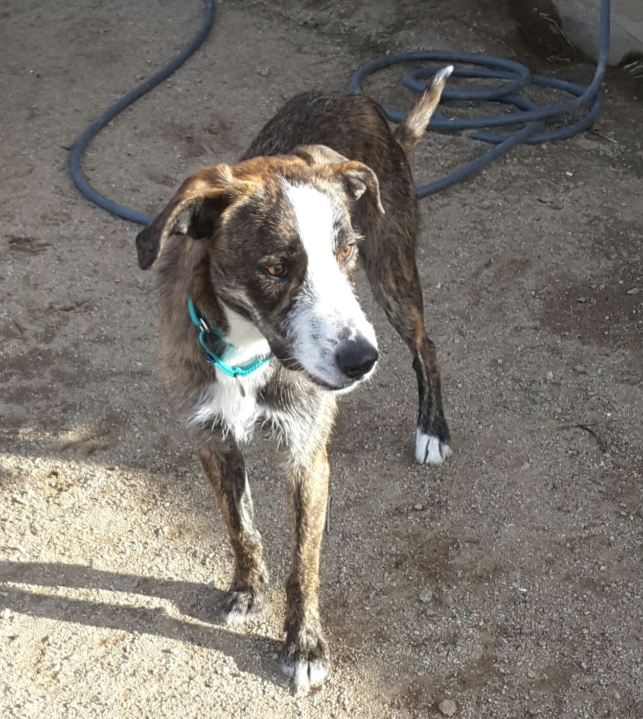 Alluring Irish Wolfhound Rescue Az Irish Wolfhound Rescue Texas Nv Irish Meet Hamlet A Dog bark post Irish Wolfhound Rescue