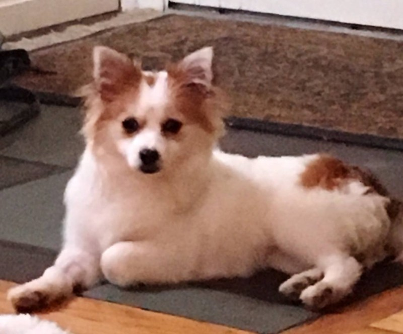Large Of Pomeranian Corgi Mix